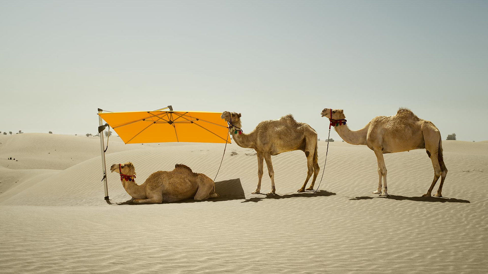 drei Kamele in der Wüste, von denen eins im Schatten unter einem Sombrano Sonnenschirm liegt